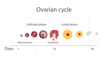 The menstrual cycle, showing changes hormones, endometrial basal body temperature. Infographics. Vector